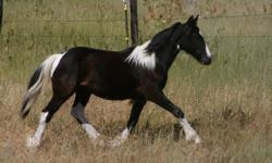 We have a wonderful selection of Gypsy Sporthorses available. Gypsies are known for their great dispositions and temperaments. Our foals are handled from birth and pasture raised. We have weanlings, yearlings and 2 year olds available for purchase. Our