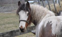 CONGRESS HILL HOLLYWOOD $5,800. Gelding DOB 5/2014 GVHS papers in hand Chickabee X The Heartbreaker, Romeo (his sire is pictured on this ad) PAYMENT PLAN---$4,500. down and monthly payments to suit your budget. We retain his registration papers until he's