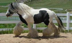 For your consideration is a Gypsy Vanner filly. She is 4 years old. Her sire is the famous Lion King and her Dam is American Summer's Journey. Sunshine is a gorgeous example of the Gypsy breed! Her sire is the famous Lion King who died a week after she