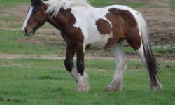 Odin is a tri-color Tobiano paint colt. He is out of our stud also a Tri-color, breed out of the famous Sligo from Germany. His dam is Tressa out of Shogun who is a beautiful stallion with great feathering and double mane and tail. Odin is following in
