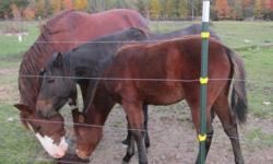 Oak-Tree Sanctuary has a family of hackneys and would like to place out 2! Update:The mother has found a really good home. We have decided to keep the filly and get her some training. The colt is 15 months and has some one looking at him this weekend!