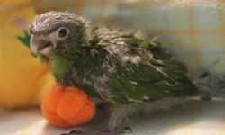 We are currently hand-feeding baby Hahns Macaws. They will make wonderful pets! Small deposit will hold till weaned.