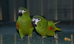 Selling my breeding pair of Hans macaw. Beautiful pair This ad was posted with the eBay Classifieds mobile app.
