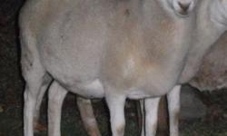 White 1/16th St. Croix, 15/16th Katahdin Hair Sheep ewe lamb, born May 3rd, 2014. A quadruplet. Nice-sized. 2 miles east of New Paris. $125