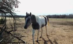 NIKA - A 2 year old filly is double registered as a Half Arabian from GH Elderberry Wine x Klassy Angel and Pinto. She is a Bay Tobiano with beautiful markings. She was shown at the 2011 Tulsa State Fair in the Stallion Service Auction and Weanling Buy-In