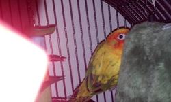 Half moon conure for sale. He is not tame but would make a great companion to another bird. He is on a diet of Zupreem Pellets, seeds, fruits & vegetables. We are asking $250. Please contact for more info.