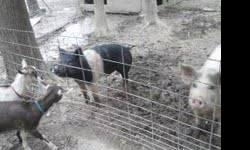We have a hamshire boar for sale he is aproxomately 8 months old and weighs about 200 lbs. he has bred both our sows and now they no longer want him around so we need to find him a new home before they have there piglets. If you are interested please call