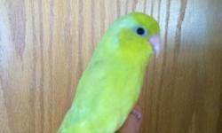 Bright yellow super sweet hand-fed baby parrotlets. Yellow female $200 (ready now), blue female $200, and dilute turquoise female $350. They come with a small carrier to take them home in and a small bag of food. All males at this time are sold. If