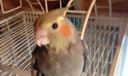 I have one hand fed baby cockatiels I'm needing to find good homes for. This baby were hand fed and well tamed. Should you have any question concerning this baby please contact me @ 901-488-5372 This ad was posted with the eBay Classifieds mobile app.