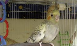 One hand fed baby Cockatiel looking for a good home. He is a sweet bird and is starting to whistle. Priced at $40. Please e-mail with any questions. Thanks