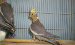 Price reduced!! have baby cockatiels closed banded ready for new homes! They know step up comand. Very good beginer birds. Cages and toys also available. Located in Sioux City, IA.