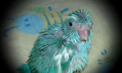 We are hand feeding Baby Pacific Parrotlets at this time. These little ones were hatched on 1-25-15 and will be ready to go to their new home the end of March - beginning of April. A 100.00 deposit will hold for you... Lt.Pied Female band #119 and Lt.