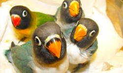 I have several babies on seed and ready to go to new permanent homes. They are friendly, won't bite, about 6 weeks old. Not sexed, No shipping. They are peachfaced but they have different faces and heads now. Many colors. They make terrific pets, learn