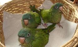 Hi, I have a hand fed Blue Crown Conure that is just weaned and ready for a new home. She is super sweet, loves to be on your shoulder and is already starting to talk. She will come with food, toys and a free Vet visit
