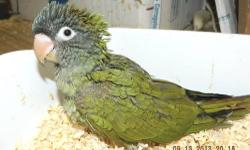 """DNA Female """"Amy"""" Blue Crown Conure. She was handfed and is stepping up and saying """"Step Up"""". These birds are excellent talkers with great personalities. Hatch Date: July 2, 2013 and should be ready for it's new home when weaned the end of October. Tested"""