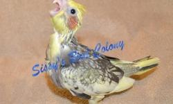 This bird is on sale for a limited time. Being hand fed. Beautiful pied markings. Sweet and loving bird that just loves all the attention that you can give. DNA is available.