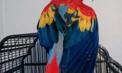 We have one sweet little hahns available. Weaned and ready for a forever home. For those that don't know the hahns, they are the smallest of the macaws, a miniature macaw, sorta like the yorkie of the Bird World. These birds are small and easy to