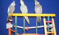 I have 5 hand fed, hand tame baby Cockatiels that are ready for new homes, there are 3 Grays, 1 Cinnamon and 1 Whiteface. I am asking $65 each except for Whiteface which is $75. Please email or call for more information.
