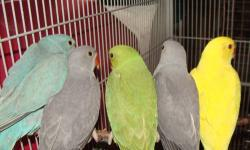 Hi, I have a few hand fed Indian Ringneck babies that are weaned and ready for new homes. They are very sweet and tame. They'll come with some food and toys too. Lutino~300 Blue~300 Gray~250 DNA testing is an additional 25.00