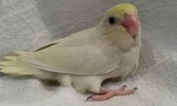 ***Sale Pending on Both*** Hello and thank you for looking at our ad! We are a very small scale breeder of Pacific Parrotlets and we have two sweet females left from our latest clutch. One is a dilute turquoise and the other is an American white. We are