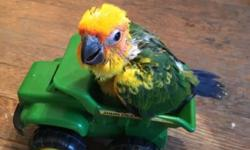 I have a very sweet sun conure baby ready for adoption. This baby will be very tame and can be trained. He still needs to be hand fed for about 3 more weeks. This is a great time to adopt him so he can love you and be accustomed to you! These are pictures