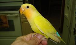 hand fed and sweet orange face cinnamon ino split to opaline and lutino. closed banded with year real sweetie