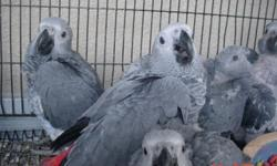 Congo African greys baby more info text me at 305-785-0075