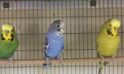 Arrieros Pet Shop has a large selection of hand feed parakeets, many colors to chose from! Visit us at: 9531 Jamacha Blvd. SpringValley, Ca 91977 or call 619-434-3207