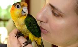 Hand feeding 4 beautiful white bellied caiques. Taking a deposit on these babies now. Please contact me with any questions. thank you! https://www.facebook.com/PoconoAna