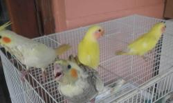 HI I HAVE BABIES AVAILABLE LUTINOS,PIED,GREEN ,DILUTE AND MORE IF YOU INTERESTED CONTACT ME ANY TIME PRICE STARTING AT 35 DOLLARS EACH AND UP LUTINO COCKATIEL BABY 50 DOLARS PIED COCKATIEL BABY 45 DOLLARS LUTINO PEACH FACE BABY LOVEBIRDS 45 DOLLARS PIED