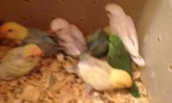 feeding three times a day a green parrolet female parents are a blue split ino male and a green split ino hen . so she is definitely split blue most provable ino also