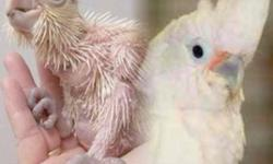 cute healthy hand feeding baby quakers ((green)) 4/5wk old available to experience hand feeders babies are $125 quakers can learn to talk very well... 9292717472...