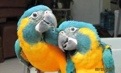 Hand Raised Baby Caninde Macaws (Blue Throat) DNA sexed almost weaned $1900 Each please call 305-905-8503