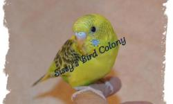 I specialize in hand training little parakeets and this one is doing really well with all of it's training. Being hand fed now but it shouldn't be too much longer before the bird is weaned. The wings are clipped to help out with the training. Learning to