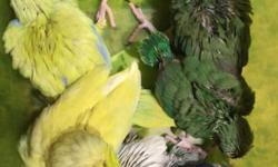 Parrotlets for sale I have hand raised parrotlets for sale. I have 2 yellow males $150. I have 1 green male $75 and 1 green female $100. I also have one white aka dilute blue male $250. Just over 6 weeks old. Fully weaned and ready to go. Contact me at