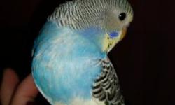 I do not DNA parakeets, and gender cannot be determined until 6-12 months old. These babies just hatched in early to mid October. 3 different sets of parents. 6 babies available. $35 non-negotiable. Babies have been hand-raised from 2 weeks and are