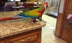 Beautiful Blue and Gold Macaws, tame, 11 months old. Talk a little and come w/ a cage 36x48x77. These are our family pets. They are friendly, have never bitten anyone. It will take a couple of days to get used to to a new home and surroundings Contact for