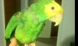 I have a female Double Yellow Headed Amazon parrot available. She is very hand tame, does talks, and laughs also. She does not screams for attentions, and she is a very calm bird. even perfect for apartment. nothing is wrong with her. I am asking $500 for
