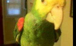 I have a female Double Yellow Headed Amazon parrot available. She is hand tame, does talks and laughs also. She does not screams for attentions, and she is a very calm bird. even perfect for apartment. nothing is wrong with her. I just need to down size
