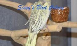 This bird has just been weaned. Very sweet and loving bird. Easy to care for. This is a clear pied cockatiel. The crest on this bird is outstanding, very full. DNA is available.