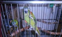 This is Jade a 5 month old hand fed hand tame Hahns mini Macaw. Hatch date June 29, 2012 very tame talks comes with a 32x 23 cage with seed skirts n all toys, bowls,& perches. $850.00 317-443-2163