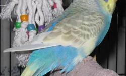 I have parakeets(splits english/american) A few at $15, several full english as well(need to call/text 414-453-3169) on these, prices very on color. I have several super sweet cockatiels very lovely colors too. 3 baby senegals- just be ready in about a
