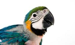 Our babies are raised in our home for your home. Every baby is well socialized and accustom to living in a home! As a result, we provide superior companion parrots. Weekly photo updates are provided. Total after sales support is included with all of our