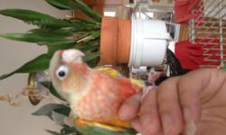 I have a few baby green cheek conures that are for a loving home. All of our babies are sweet and hand tame. Prices are from $195-$225 for each baby