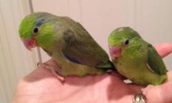 I have 4 baby cockatiels weaned and ready for new homes. Tame , will step up. Great starting bird for a pet! New and used cages available.