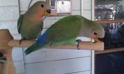 Handfed Baby Lovebirds - Super Sweet handfed babies. They are the normal peachface and have been handfed since 2 weeks old. They are banded and come with their hatch certificate. I have 5 babies however only 3 are available. They are now weaned and ready