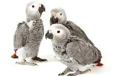 Melzano's Parrot Place has the following babies available: ? Greenwing Macaw - $1650 ? African Grey Congos - $1200 ? Harlequin Macaws - $1600 ? Blue & Gold Macaws - $1350 ? Hybrid Macaw ? 4 WAY Hybrid - $1600 ? Rose Breasted Cockatoos - $1500 ? Hahns