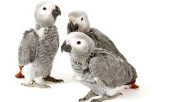 Our babies are raised in our home for your home. Every baby is well socialized and are accustom to living in a home! As a result, we provide superior quality companion parrots. Photo updates are provided. Total after sales support is included with all of
