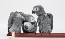 Melzano's Parrots has the following babies available: Greenwing Macaw - $2000 PLATINUM (Extreme High Yellow) Sun Conures - $450 Painted Conure - $750 Blue Crown Conure - $750 Jenday Conures - $350 Lessor Sulpher Crested Cockatoo - $1500 Medium Sulpher