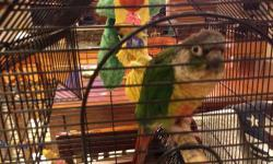Our babies are raised in our home for your home. Every baby is well socialized and are accustom to living in a home! As a result, we provide superior quality companion parrots. Weekly photo updates are provided. Total after sales support is included with